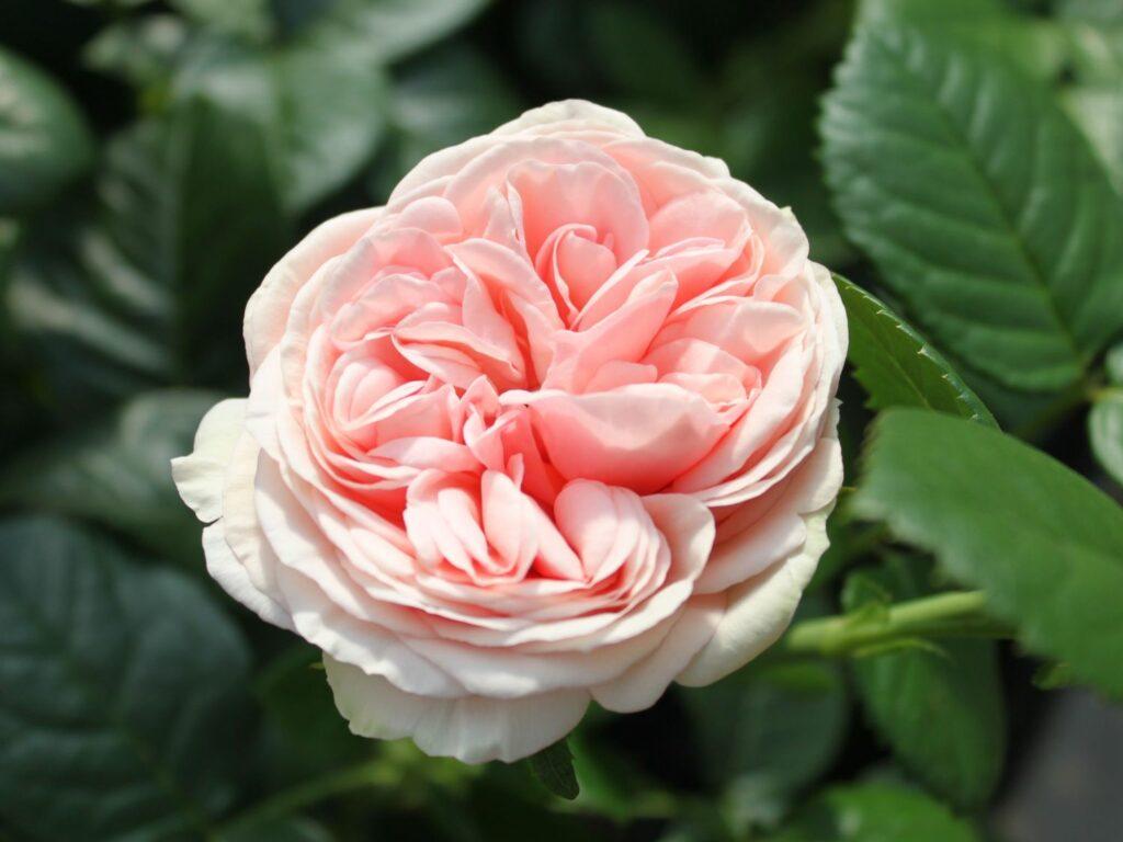 """Rosa """"Afrodita"""""""